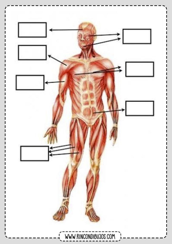Musculos Cuerpo Humano para rellenar