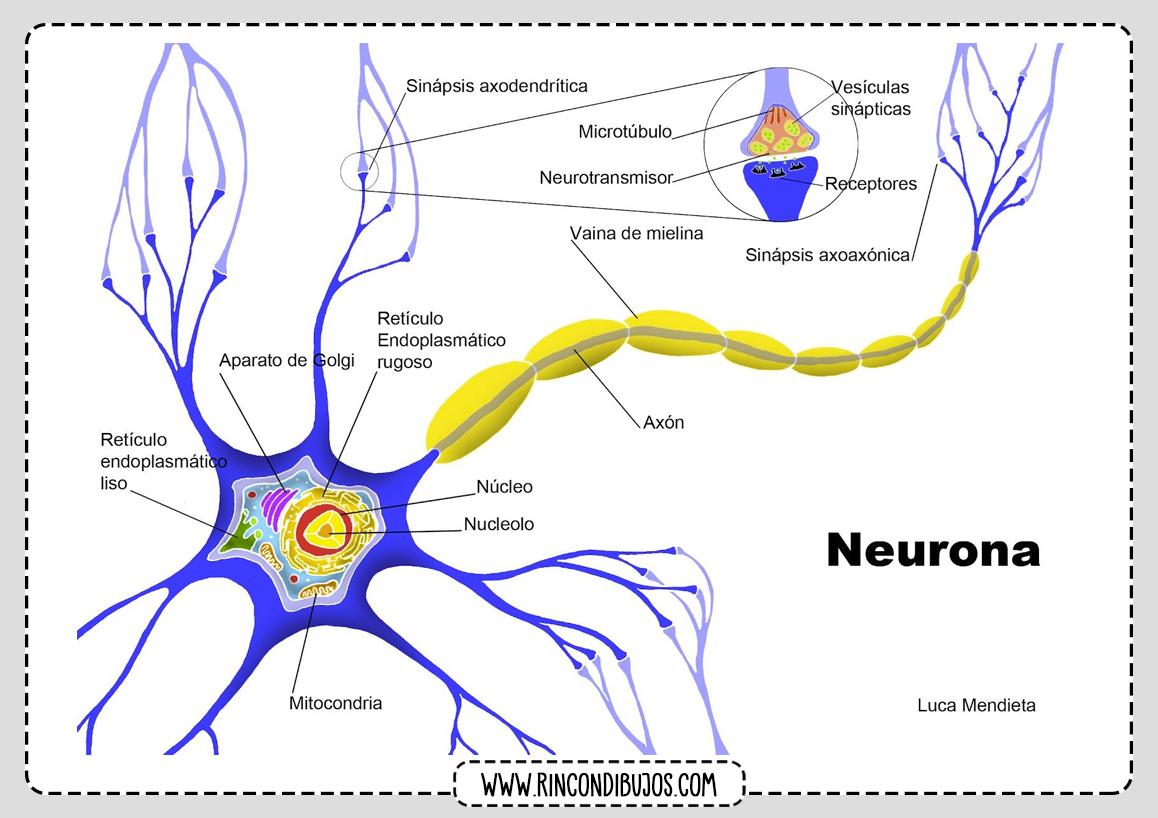Neurona Partes Celula Nerviosa