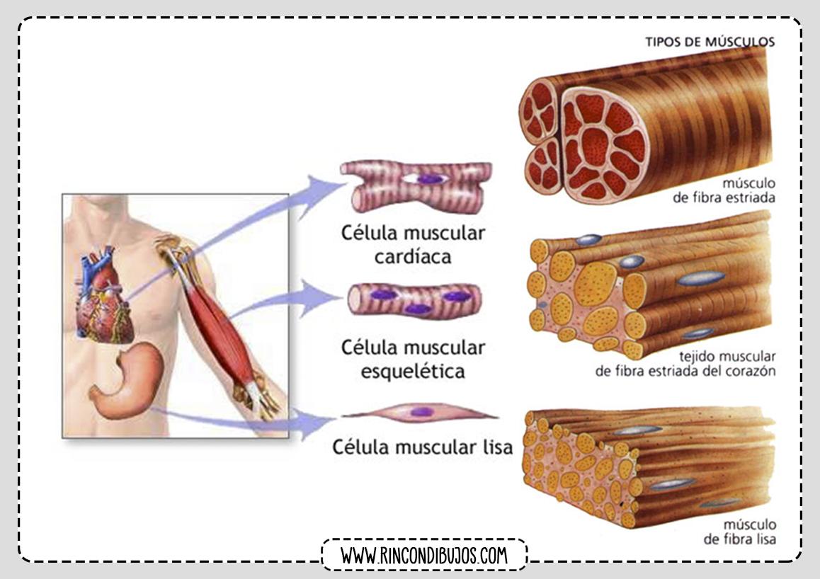 Tejido Muscular Celulas