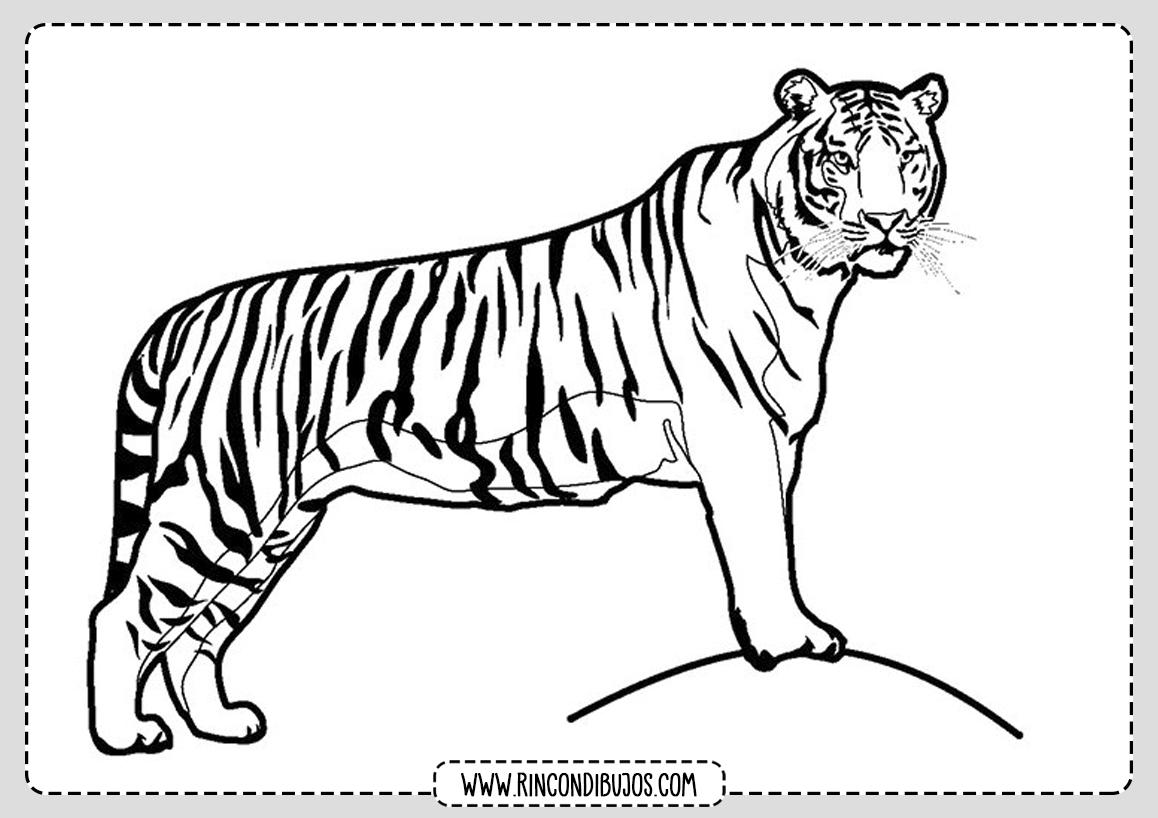 Tigre Selva Dibujo Colorear