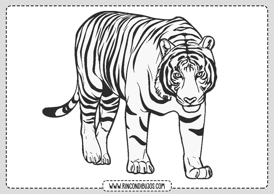 Tigres Dibujo Colorear