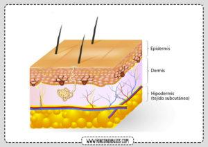 Piel Dermis Epidermis